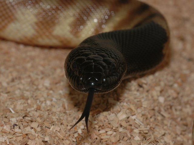 Snake-Breeder - Serpents Aspidites melanocephalus