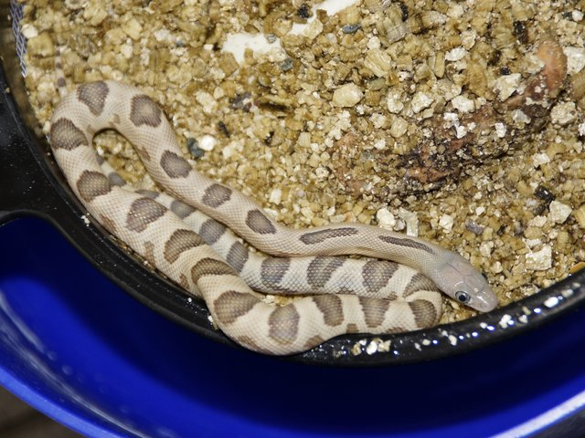 Snake-Breeder - Serpents Bogertophis subocularis